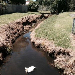 Duck and poisoned creek verge